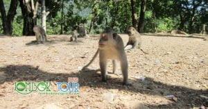 Monyet di hutan pusuk lombok