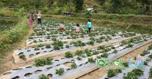 Kebun Strawberry Sembalun